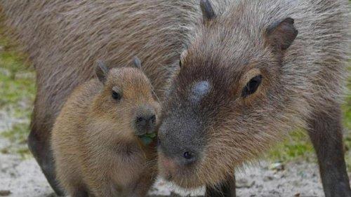 Natur: Wasserschweine im Zoo Hannover haben Fünflinge bekommen
