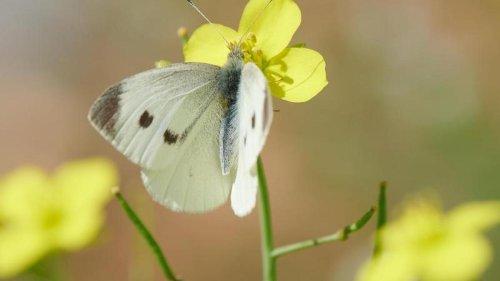 Tiere: Schmetterlinge in NRW gezählt: Kohlweißling am häufigsten