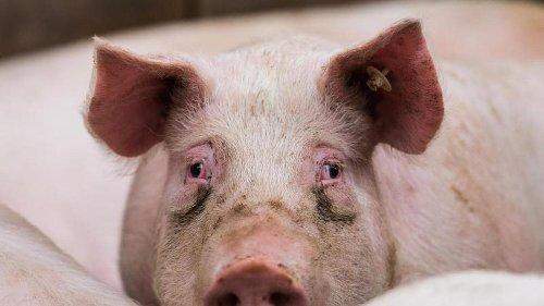 Zahl der gehaltenen Schweine in Bayern gesunken