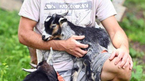 Agrar: Badische Zwergziegenherde macht Karriere