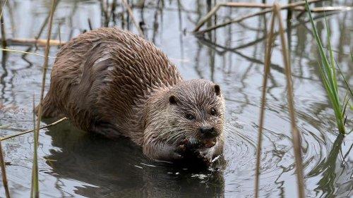 Beutezüge: Fischereiverband fordert Abschuss von Ottern