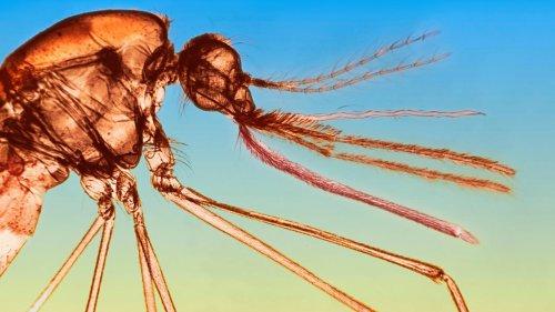 Stechmücken: Mit Moskitos an die Macht