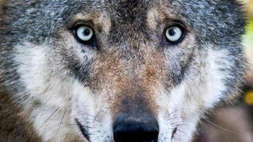 Agrar: Neuer Plan für Umgang mit Wölfen