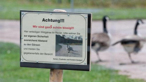 Wildgänse sorgen für Ärger an Stuttgarter Seerosenteich