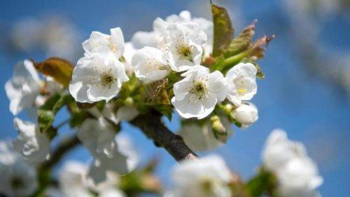 Altes Land in voller Blüte: Klöckner besucht Obstzentrum