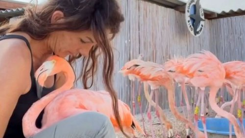 VIDEO: Tickled Pink: The Flamingo Rescuer Saving Birds With A Caring Cuddle - Zenger News