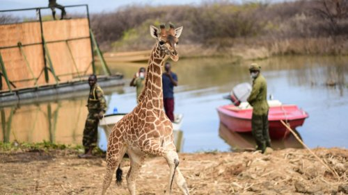 VIDEO: Neck And Neck: Mom And Calf Giraffes Rescued From Flood Island - Zenger News