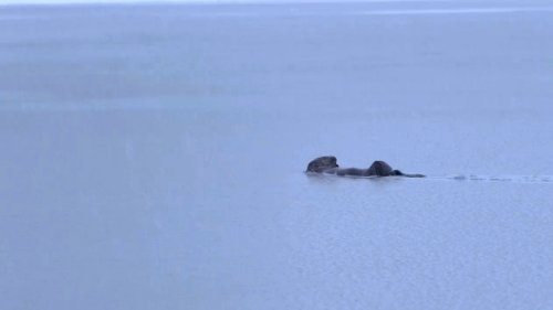 VIDEO: Adorable Otter Swimming During Heavy Snowfall In Search Of Fish - Zenger News