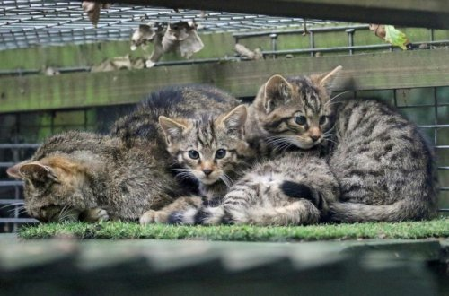 Purr-fect! First Population Of Rare Wildcats Sighted Outside Scottish Highlands In 200 Years - Zenger News