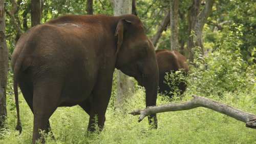 Jumbo Mystery: Activists Reject Thunderbolt Theory For 18 Elephant Deaths In India - Zenger News
