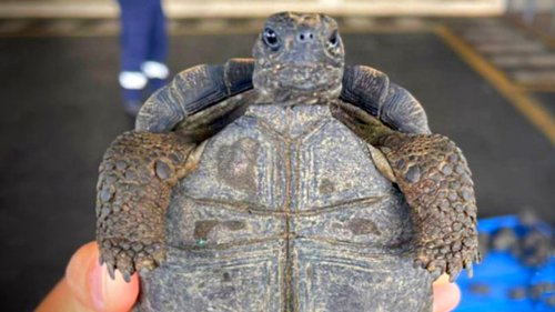 Open And Shut Case: Trafficker Stashed 200 Giant Galapagos Tortoises In His Luggage - Zenger News