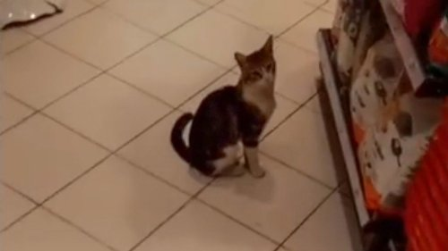 VIDEO: Feline Hungry? Crafty Kitty Cons Shoppers Into Buying Cat Food In Grocery Store - Zenger News