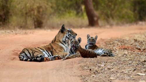 Indian PM Says Country's Tiger Population Doubled 4 Years Ahead Of 2022 Schedule - Zenger News