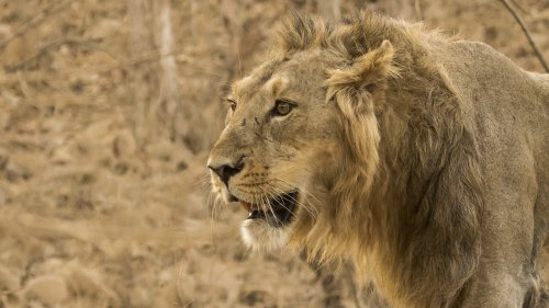 Covid Hits Endangered Asiatic Lions In An Indian Zoo - Zenger News