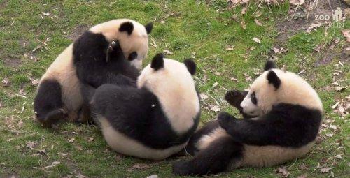 VIDEO: Panda-monium: Playful Twin Cubs Have Captured Berlin's Heart - Zenger News