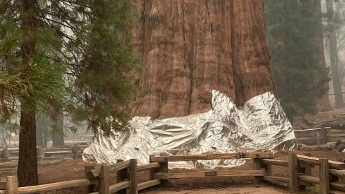 VIDEO: 275-foot-tall Sequoia Tree Survives Wildfire — With Aluminum Blanket - Zenger News