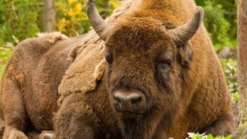 VIDEO: No Bull: Brits Recruit First Bison Wranglers For New Wild Herd - Zenger News