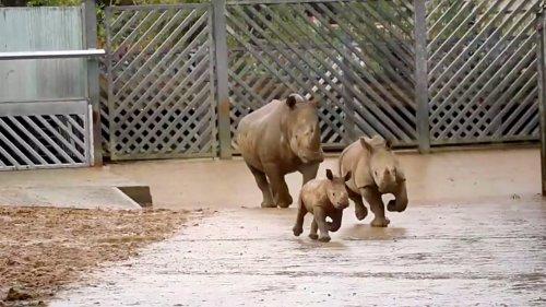 White Rhino Meets the Rest of the Rhino Gang - Zenger News