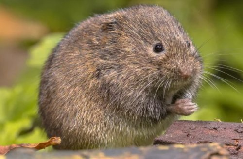 8 Best Ways To Get Rid Of Voles From Your Yard