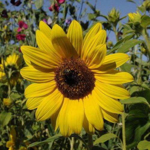 Artenschutz auf dem Balkon: Bienenfreundliche Balkonpflanzen
