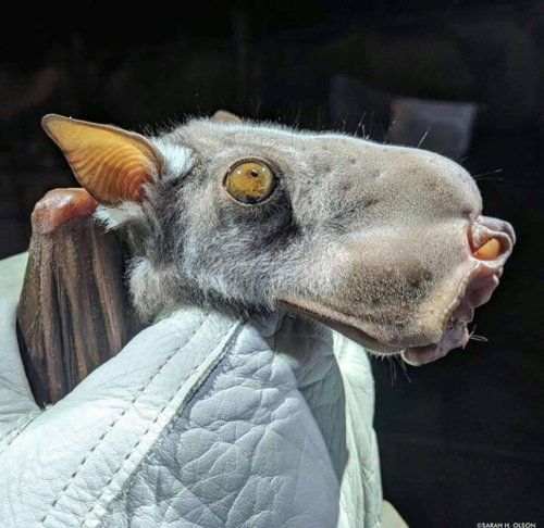 Meet the hammer-headed bat: the flying mammal with the head of a puppy
