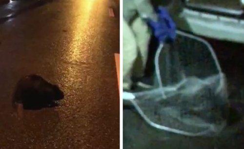 Нырял в лужи и бросался на прохожих: опасный хищник прогулялся по улицам Харькова