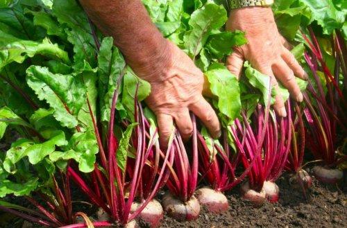 Живая подкормка для сочной свеклы: урожай будет мягким и без горечи
